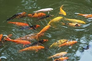 Maintain the Water Quality of Your Koi Pond